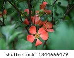 cydonia flower among blurred... | Shutterstock . vector #1344666479