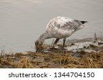 Snow Goose  Immature