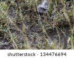 Постер, плакат: Puff adder snake