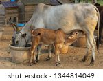 Cow Feeding Its Calf And Cow...