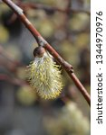 weeping pussy willow   latin... | Shutterstock . vector #1344970976