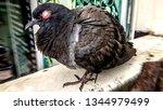 Pigeons are sick to carry bird flu,Pigeons and Avian Influenza (Bird Flu)