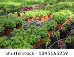 picture of seedlings of... | Shutterstock . vector #1345165259