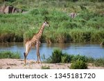 giraffe in riverbank in kruger... | Shutterstock . vector #1345181720