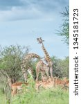 giraffe couple meeting and... | Shutterstock . vector #1345181723