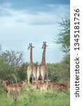 giraffe couple and impala in... | Shutterstock . vector #1345181726