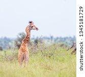 young giraffe in green savannah ... | Shutterstock . vector #1345181729