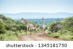 giraffe group in scenery kruger ... | Shutterstock . vector #1345181750