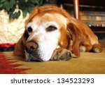 Old Dog With Sad Expression In...