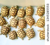 Stock photo close up baby tortoise hatching african spurred tortoise birth of new life cute baby animal 1345285553