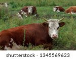 brown cows with a white muzzle...   Shutterstock . vector #1345569623