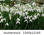 close up of common snowdrops ... | Shutterstock . vector #1345612169