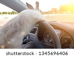 Stock photo rabbit drives a car he is at the driver s seat behind the steering wheel hare driver white 1345696406