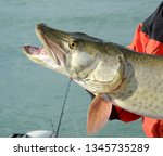 A profile view closeup of a head of a large muskie fish, with its mouth open and teeth exposed, being held by an angler on a sunny day on a lake