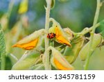 lady bug. close up red insect... | Shutterstock . vector #1345781159