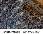 wax moth larvae on an infected...   Shutterstock . vector #1345927250