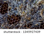 wax moth larvae on an infected...   Shutterstock . vector #1345927439