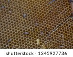 wax moth larvae on an infected...   Shutterstock . vector #1345927736