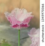 pink white spring tulip blossom.... | Shutterstock . vector #1345970366