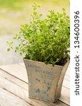 Oregano Plant In Pot Close Up