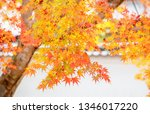 autumn colorful red maple leaf... | Shutterstock . vector #1346017220