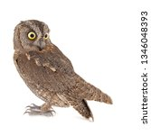 Owls   European Scops Owl  Otu...
