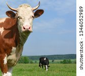 cow on a summer pasture | Shutterstock . vector #1346052989