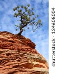 Pine  Pinyon  Tree Growing Ato...