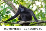 The Celebes Crested Macaque On...