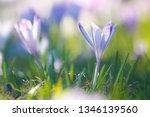 crocus violet in spring with...   Shutterstock . vector #1346139560
