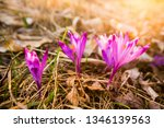 crocus violet in spring with...   Shutterstock . vector #1346139563
