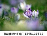 crocus violet in spring with...   Shutterstock . vector #1346139566