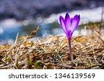 crocus violet in spring with...   Shutterstock . vector #1346139569