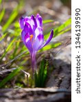 crocus violet in spring with...   Shutterstock . vector #1346139590