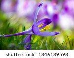 crocus violet in spring with...   Shutterstock . vector #1346139593