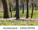 crocus violet in spring with...   Shutterstock . vector #1346139596