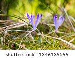 crocus violet in spring with...   Shutterstock . vector #1346139599