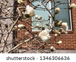 blooming white magnolia on... | Shutterstock . vector #1346306636