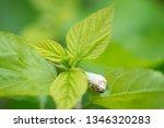 close up silkworm eating... | Shutterstock . vector #1346320283