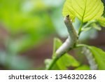 close up silkworm eating... | Shutterstock . vector #1346320286