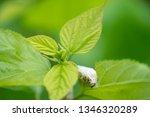 close up silkworm eating... | Shutterstock . vector #1346320289
