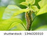 close up silkworm eating... | Shutterstock . vector #1346320310
