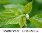 close up silkworm eating... | Shutterstock . vector #1346320313