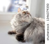 grey furry cat on the window on ... | Shutterstock . vector #1346379350