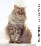 grey furry cat on the window on ... | Shutterstock . vector #1346379353
