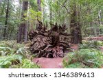 view of a fallen redwood tree... | Shutterstock . vector #1346389613