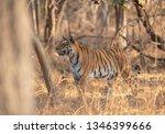 alert tigress at pench national ... | Shutterstock . vector #1346399666