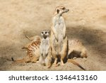 family of cute mammals meerkats ... | Shutterstock . vector #1346413160