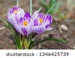 purple primroses spring...   Shutterstock . vector #1346425739