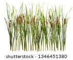 Cattail And Reed Plant Isolated ...